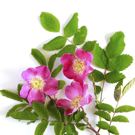 rose alpine