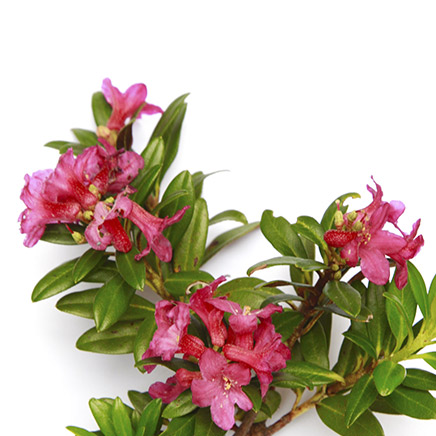 rhododendron alpin
